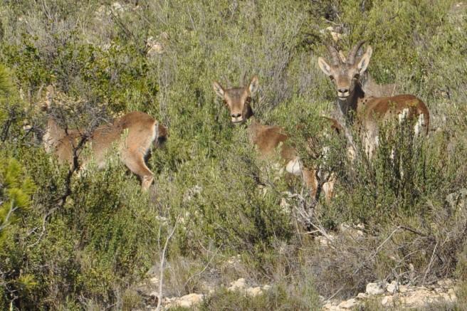 Cabras montesas en el Bajo Aragón